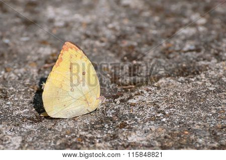 Yellow Sulphur Butterfly At Rest On Rocky Ground