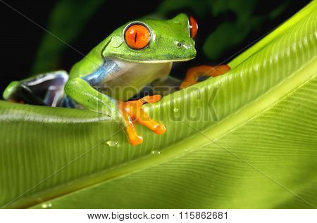 Tree Frog on Large Leaf
