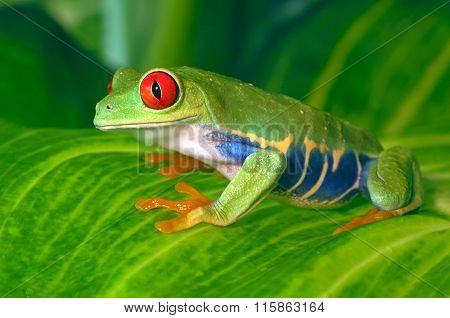 Red Eyed Frog on Leaves
