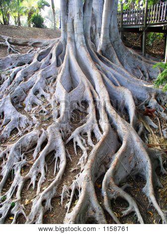 Winding Tree Roots