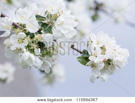 Apple tree branch in full bloom with white and pink flowers