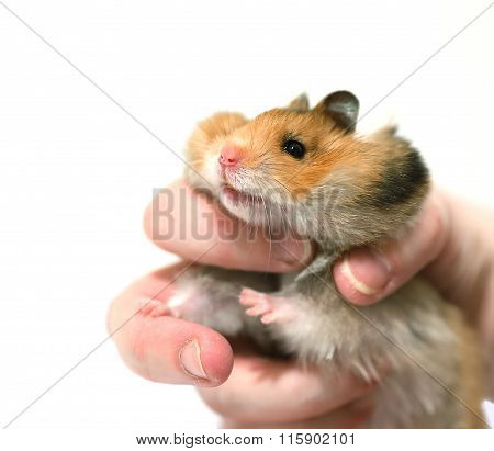 Brown Syrian Hamster With Filled Cheeks In Hands Isolated