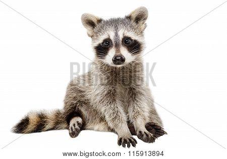 Funny raccoon