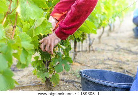 Work In Vineyards, France