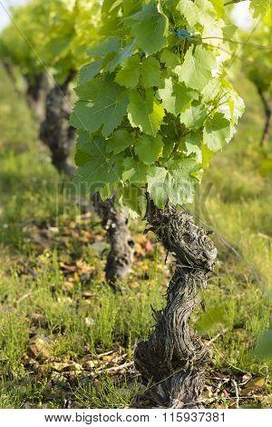 Vine And Leaves Of Vine