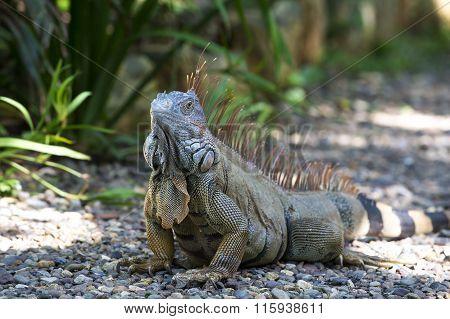 One Turtle Iguana