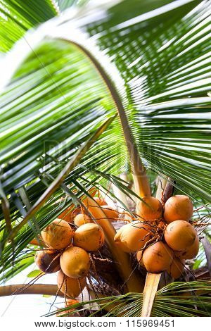 Coconut Tree With Coconut Fruit