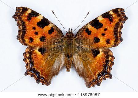 Large Tortoiseshell, Nymphalis Polychloros  Butterfly