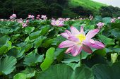 The most famous flower in taipei botanical garden is lotus , lotus is very beautiful in summer poster