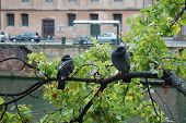 a view of two birds sitting on a branch in strassbourg. photo was taken along the banks of lilie river in the petite franch part of strassbourg. poster
