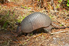 Armadillo In The Forest
