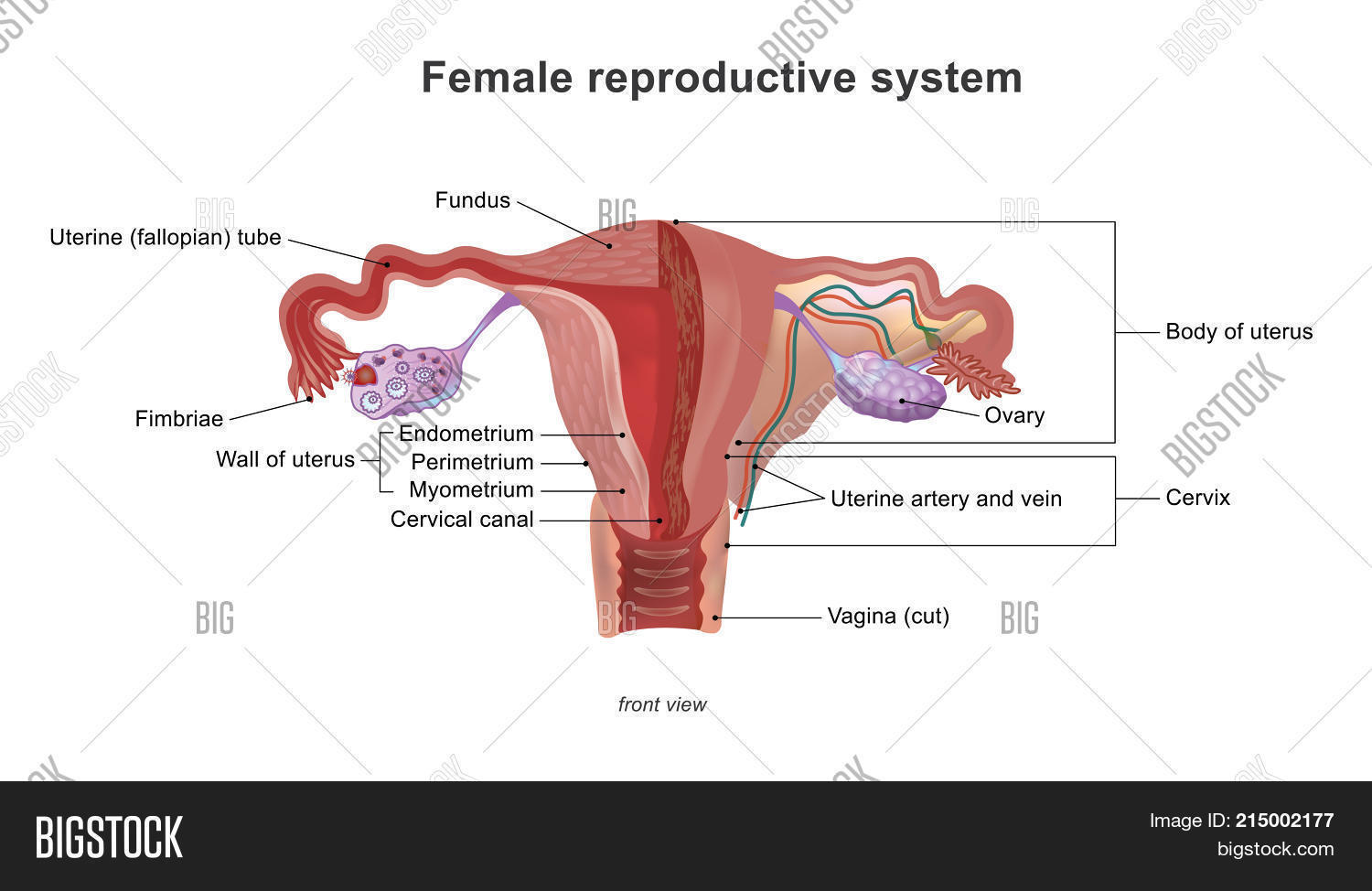 Female Reproductive Image Photo Free Trial Bigstock