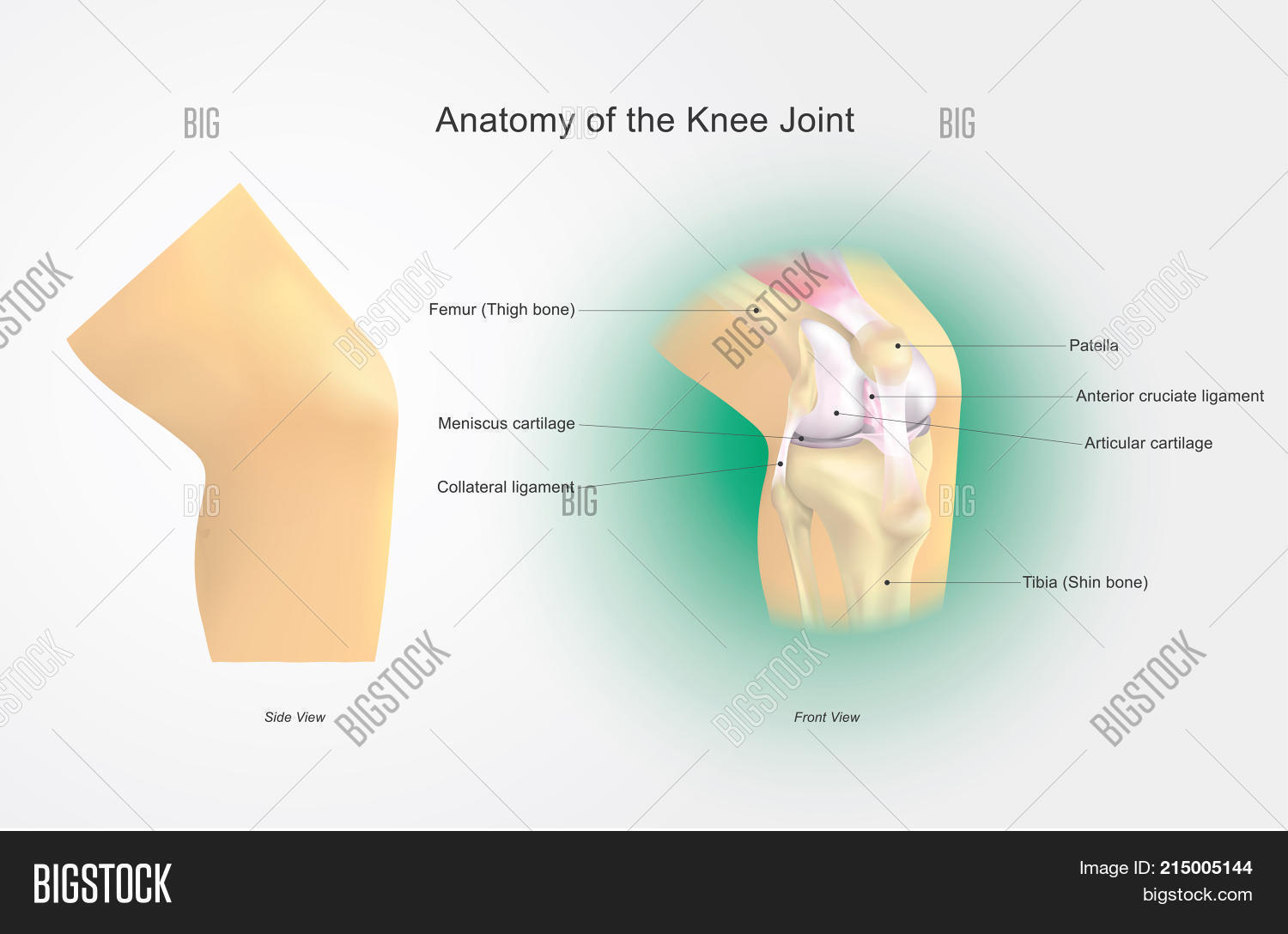 Knee Joint Joins Thigh Image Photo Free Trial Bigstock