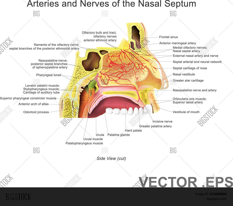 Nasal Cavity ( Nasal Vector & Photo (Free Trial) | Bigstock