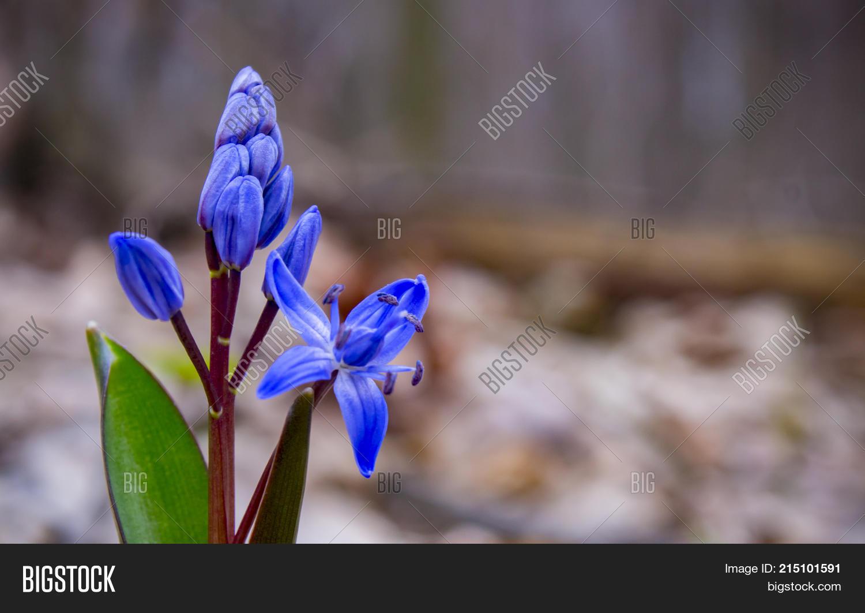 Blue Spring Flowers Image Photo Free Trial Bigstock