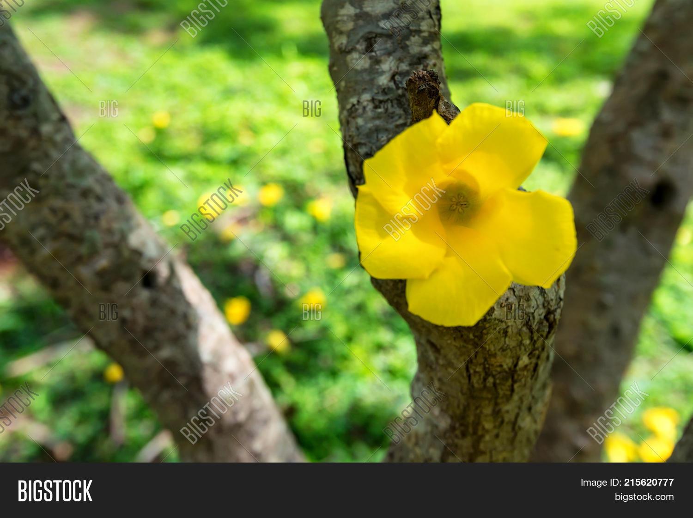 Yellow Oleander Image Photo Free Trial Bigstock