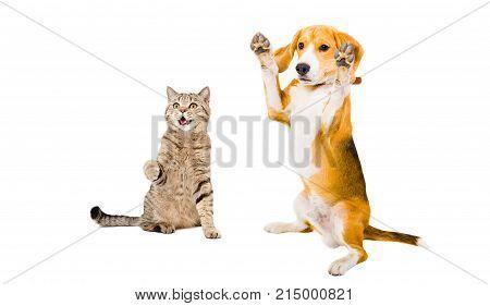 Playful cat Scottish Straight and Beagle dog, isolated on white background