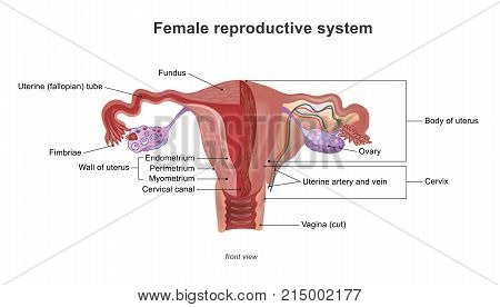 The female reproductive system (or female genital system) contains two main parts the uterus which hosts the developing fetus produces vaginal and uterine secretions. Illustration anatomy body.