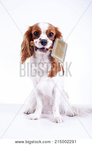 Dog with pet brush fur comb. Cute cavalier king charles spaniel dog puppy on isolated white background. Dog with fur brush. Pet brush.