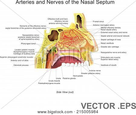 The nasal cavity (or nasal fossa) is a large air filled space above and behind the nose in the middle of the face. Each cavity is the continuation of one of the two nostrils.