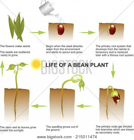 Seed germination is a process by which a seed embryo develops into a seedling. It involves the reactivation of the metabolic pathways that lead to growth and the emergence of the radicle or seed root and plumule or shoot. Education info graphic vector.