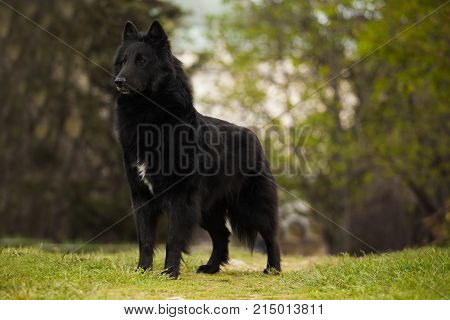 beautiful dog breed Belgian shepherd groenendael dog portrait