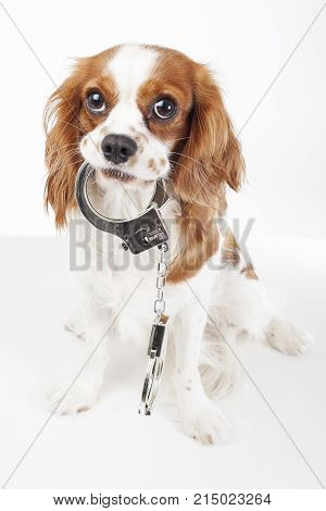 Dog with handcuffs against animal cruelty. Cute Cavalier ki8ng charles spaniel dog photos. Isolated white background.