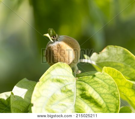 quince tree in nature . In the park in nature