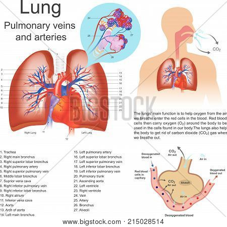 The lungs are the primary organs of respiration in humans and many other animals including a few fish and some snails.
