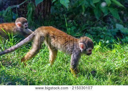 Small common squirrel monkey or Saimiri sciureus on forest background