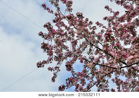 Blossoming apple tree branch with pink flowers - natural spring background