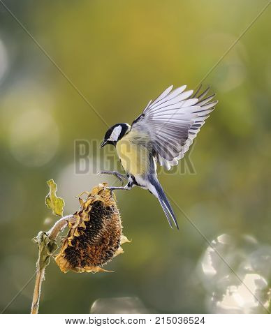little bird flies to the flower of the sunflower seeds and eagerly bite