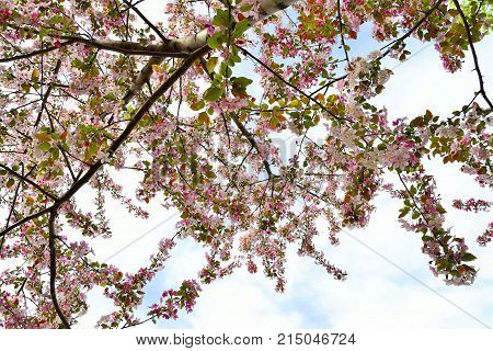 Blossoming apple tree branches with pink flowers - natural spring background