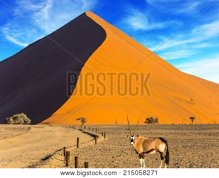Oryx standing at the road. Sharp border of light and shadow over the crest of the dune. Namibia, South Africa. Sunset in the desert. The concept of extreme and exotic tourism