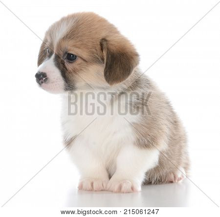 pembroke welsh corgi puppy sitting isolated on white background
