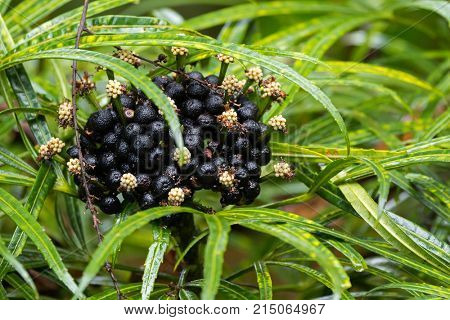Closeup clutters of flowers, black berry seeds of Green Aralia (Miagos bush) tropical ornamental plant native to Southeast Asia with Palmate compound leaves (Osmoxylon lineare)