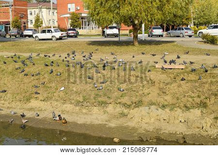 Slavyansk-on-Kuban Russia - October 20 2017: Pigeons on the shore of the lake. Pigeons accustomed to being fed by passers-by are waiting for food