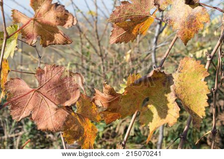 A closeup of grape leaves turning yellow and reds in the autumn. Grape vine in fall