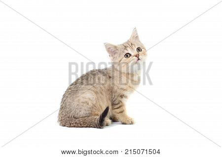 Standing Scottish Straight Cat Kitten Looking Up Isolated On White Background