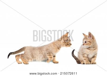 Two Kitty Scottish Straight Collage Banner With Copy Space With Place For Text On White Isolated Bac