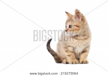 Kittens Scotty Straight Banner With Copy Space With Place For Text On White Isolated Background
