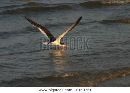 Skimmer Catching Fish