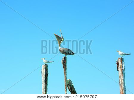 Pelican and gulls sitting on logs. Turquoise water and blue sky background. Caribbean. Aruba. Amazing background.