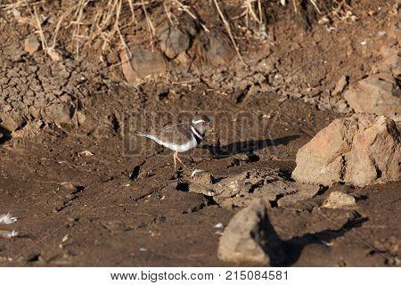 Three Banded Plover (charadrius Tricollaris)