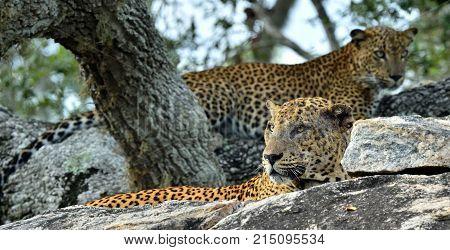 Leopards On A Stone. The Sri Lankan Leopard (panthera Pardus Kotiya) Male And Female. Yala National