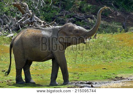 Elephant Spraying Dirt And Water On Itself From Its Trunk.. The Adult  Male Of Sri Lankan Elephant (
