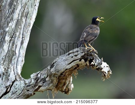 Singing Male of Common Myna. Common Myna (Acridotheres tristis) on the old tree. Male and female. Sri Lanka.