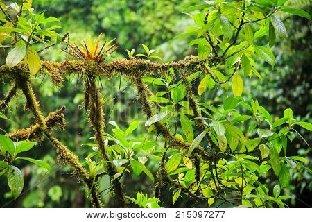Moss tree branch in Monteverde cloud forest reserve Costa Rica
