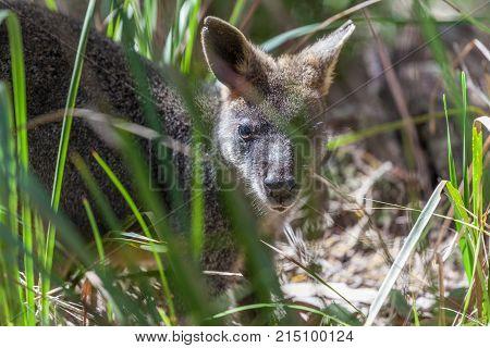 Pademelon closeup - native Australian marsupial mammal