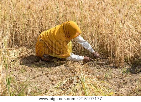 Wheat crop Harvesting by an Unrecognized woman dressed in yellow uniform in India.